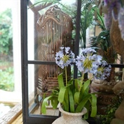Detail of the agapanthus by the conservatory